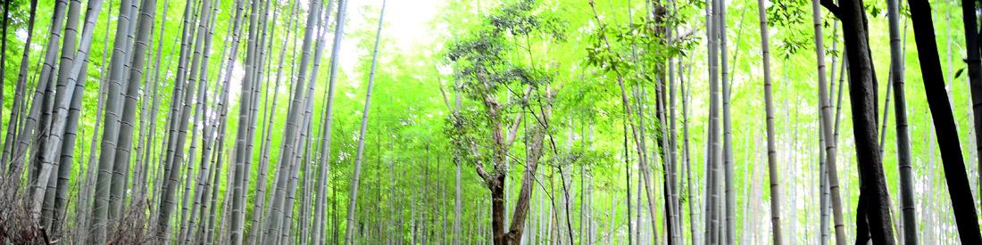 Bandeau - Forêt de bambous