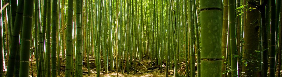 Vigo - Forêt de bambous